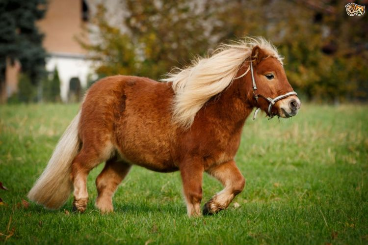 how-to-feed-ponies-to-avoid-obesity-54ad2a0dbcbb0